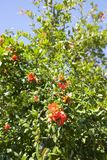 Bees pollinate blooming pomegranate tree royalty free stock photography