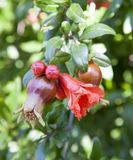Bees pollinate blooming pomegranate tree royalty free stock photo