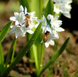 Bees pollinate blooming pushkinia flowers. White tender spring flowers of Puschkinia scilloides and pollinating bees Stock Photo