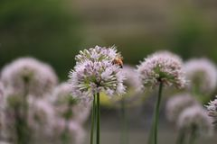 Bees pollinate chive blossoms in riverbed flowerbed Stock Photo