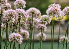 Bees pollinate chive blossoms in riverbed flowerbed. Chicago River flowerbed along the riverwalk is frequented by bees pollinating the chive blossoms Royalty Free Stock Images