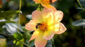Bees pollinate a flower stock footage