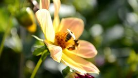 Bees pollinate a flower. In the garden stock footage