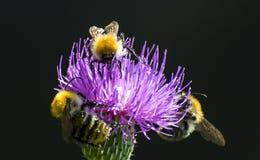 Bees pollinate a flower, méhecskék beporozzák a virágot stock photography
