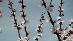 Bees pollinate flowering apricot stock video
