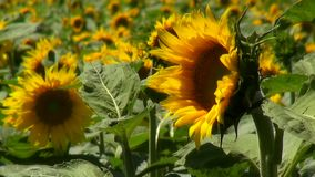 Bees pollinate flowering sunflower on agricultural stock video footage