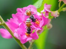 Bees pollinate pink flower Stock Photos