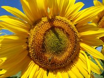 Bees pollinate sunflower flowers in field. Bees pollinate sunflower flowers in the field Stock Photo