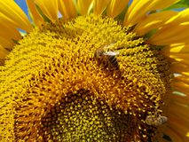 Bees pollinate sunflower flowers in field. Bees pollinate sunflower flowers in the field Royalty Free Stock Images