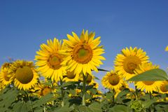 Bees pollinate sunflowers Stock Photos