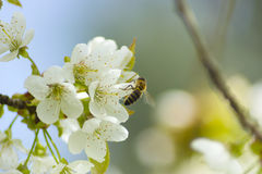Bees pollinate white flowers Stock Photo