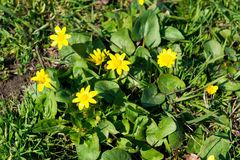 Free Bees Pollinate Yellow Spring Flower. Primroses In The Garden. Yellow Spring Flower Lesser Celandine Ranunculus Ficaria Royalty Free Stock Photography - 90216397