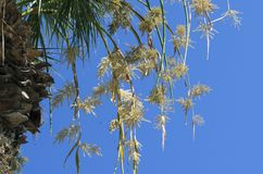 Bees pollinate yellowish flowers of a palm tree. Against the background of the blue sky stock photos
