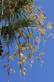 Bees pollinate yellowish flowers of a palm tree. Against the background of the blue sky royalty free stock photo