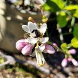 Bees pollinating stock photos