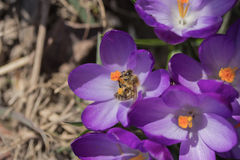 The  bees is pollinating the flower of saffron Royalty Free Stock Photography