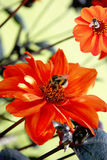 Bees pollinating flowers Stock Photo