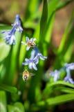 Bees pollinating hyacinth stock photos
