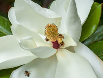 Bees pollinating a magnolia flower Royalty Free Stock Images