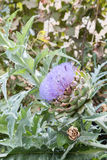 Bees pollinating the purple flowering head of an artichoke. Royalty Free Stock Image