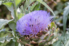 Bees pollinating the purple flowering head of an artichoke. Royalty Free Stock Photo