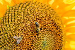 Bees pollinating sunflowers. Stock Photography