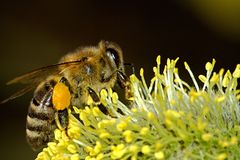 Bees, Pollination, Insect, Macro Royalty Free Stock Images