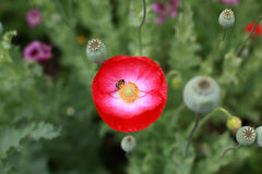 Bees and poppies Royalty Free Stock Image