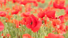 Bees and poppy flowers stock footage