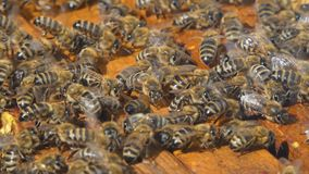 Natural Honey, Bee produce wax and create honey. Bees produce wax and build honeycombs from it stock footage