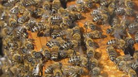 Natural Honey, Bee produce wax and create honey. Bees produce wax and build honeycombs from it stock video