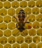 Bees produce wax and build honeycombs from it. stock images