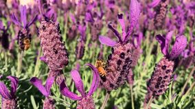Bees on purple lavender gathering nectar stock video footage
