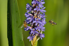 Bees and Purple Pickerel marsh flower Royalty Free Stock Photography
