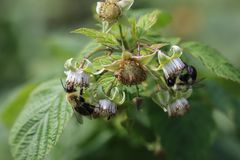 Bees on raspberry plant Stock Image
