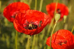 Bees and red poppies close-up on a field Royalty Free Stock Image