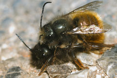 Bees reproduction macro Royalty Free Stock Images