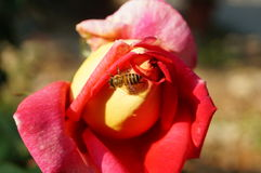 Bees in the rose flowers Stock Image
