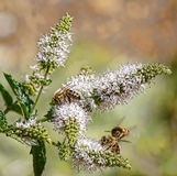 Bees on Rosemary Flowers Royalty Free Stock Images