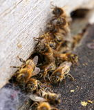 Bees rushing Royalty Free Stock Photography