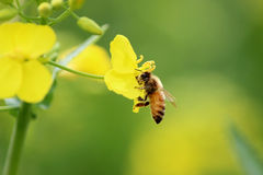 bees sips flowers Royalty Free Stock Photo
