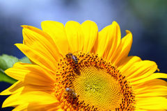 Bees sitting on yellow sunflower Stock Image