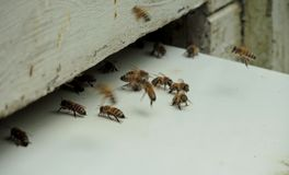 Bees. Some bees outside their hive Royalty Free Stock Photos