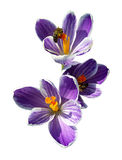 Bees on spring crocuses. Royalty Free Stock Photography