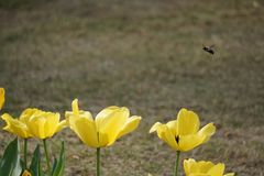 Bees in the spring time royalty free stock image
