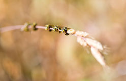 Bees on Stalk of Grass Stock Photography