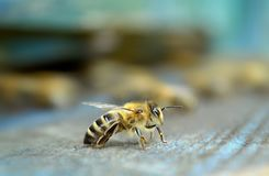 Bees standing in her blue house royalty free stock image