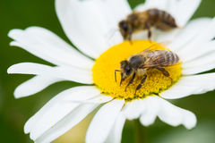 Bees sucking nectar from a daisy flower Royalty Free Stock Image