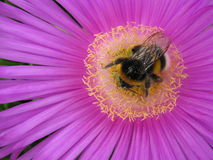 Bees in summer Royalty Free Stock Photos