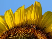 Bees and sunflower Royalty Free Stock Photography